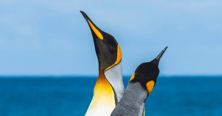 Two penguins looking up into the sky.